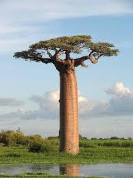 baobab-bis
